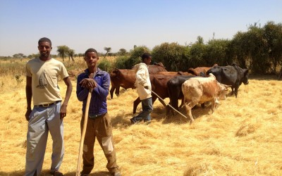 Men pause in the Rift Valley of Ethiopia while threshing their teff grain during the harvest. Teff remains a critical drought-resistant source of nutrition for most Ethiopians and thus critical to their health.
