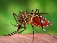 Zika_Mosquito