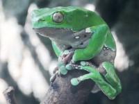 Green Monkey Frog
