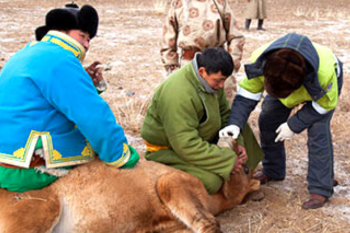 Livestock research in Mongolia